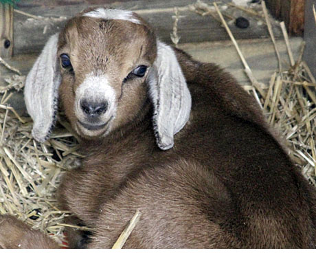 baby nubian goats image search results