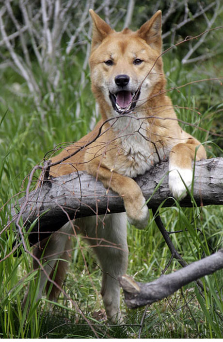 dingo ate my baby while at the zoo
