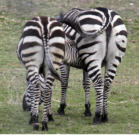 ZEBRA-BUTTS