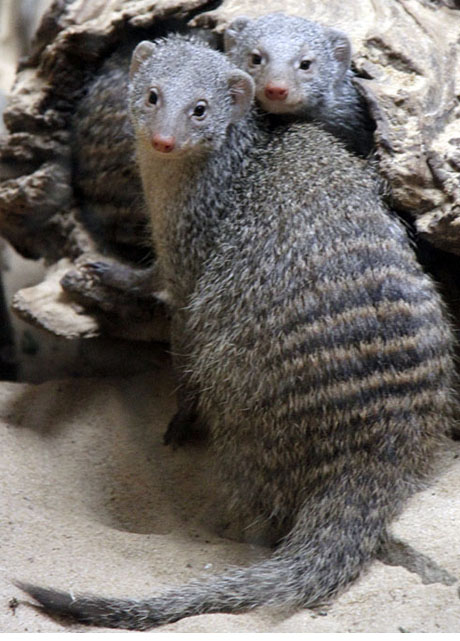 Banded Mongoose buddies