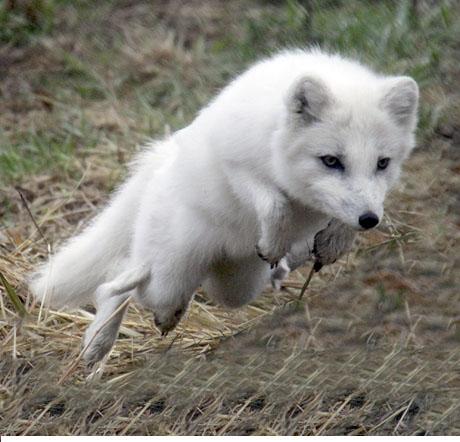 arctic fox-como zoo