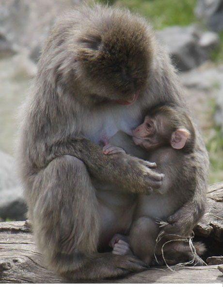 snow monkey baby and mother