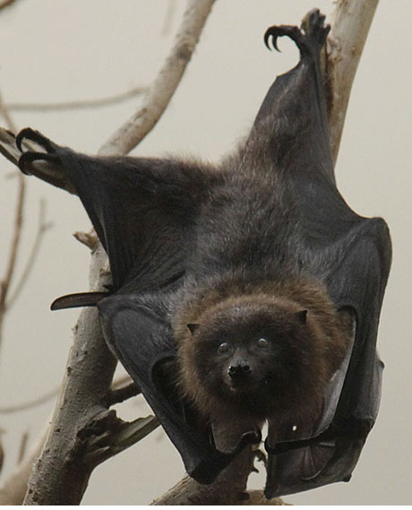Rodriguez Fruit Bat