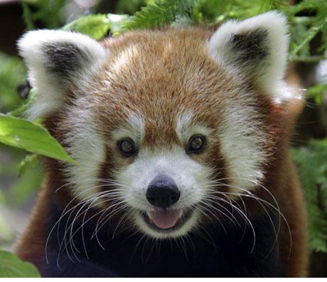 Red Panda Biru