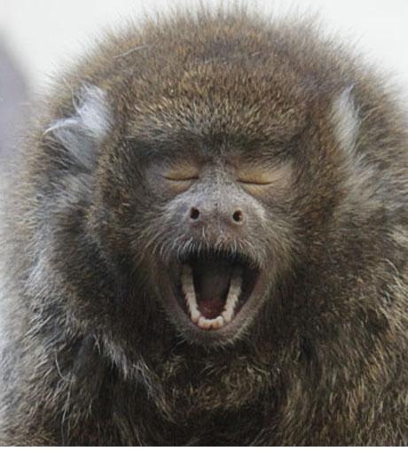 Yawning Titi