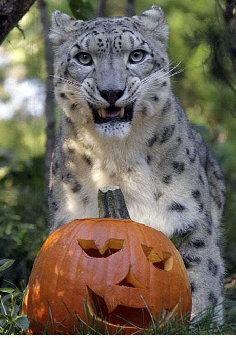 Askai with Pumpkin