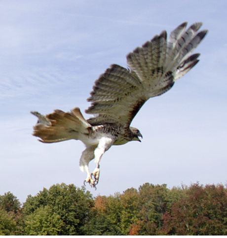 Red-tailed release