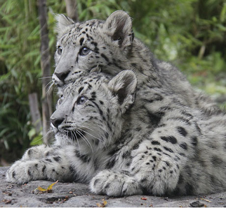 CPZ Snow Leopard Cubs