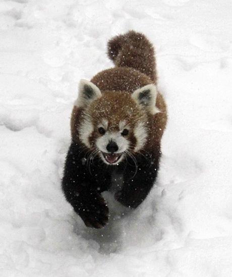 snowpocalypse panda