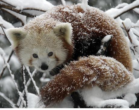 SNOWZILLA PANDA