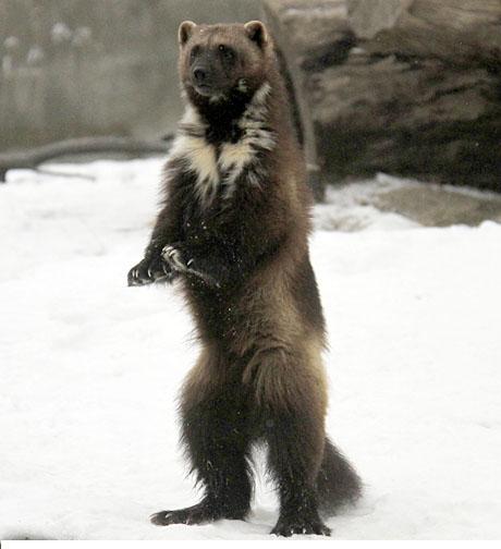 detroit wolverine