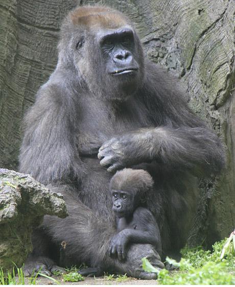 Gorilla Baby-Bronx Zoo