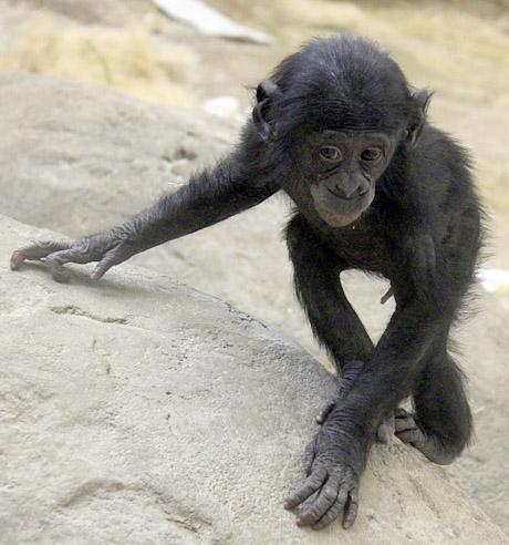 MEMPHIS BONOBO BABY