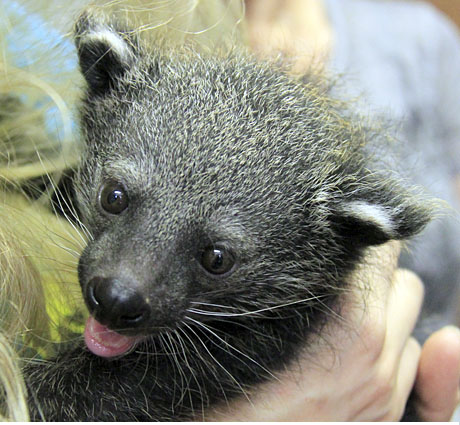Binturong Baby -Staten Island Zoo