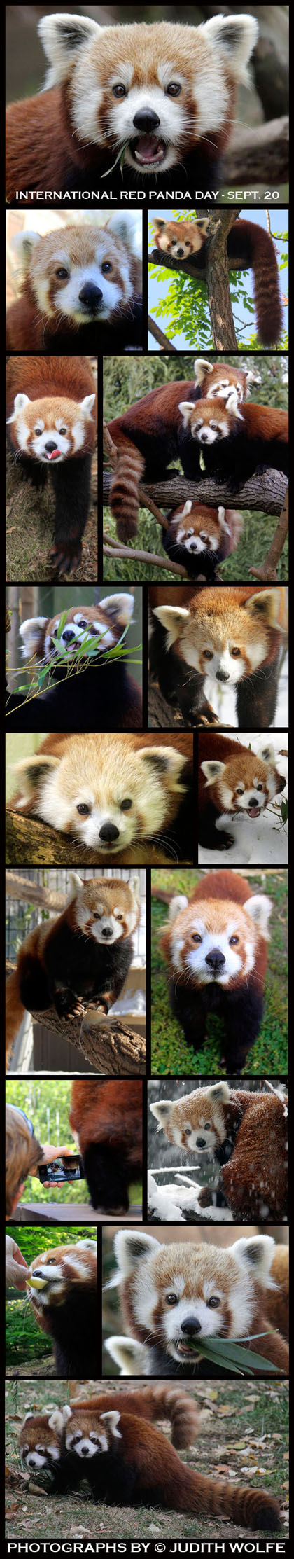 REDPANDADAY