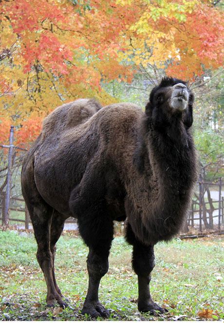 FALL CAMEL