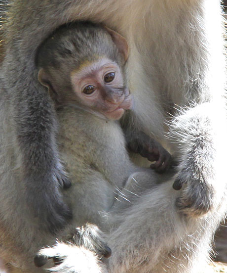Grivet Monkey -Southwicks