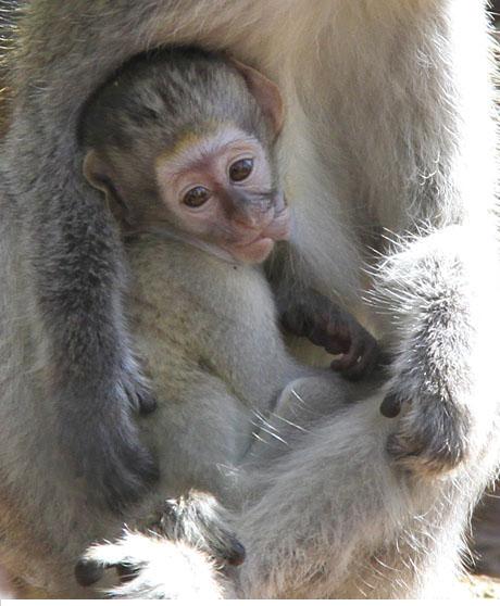 Grivet Monkey -Southwicks