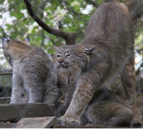 Stone Lynx