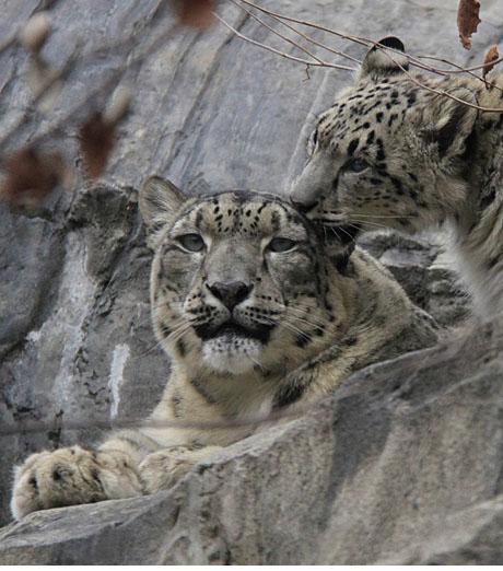 SnowLeopards