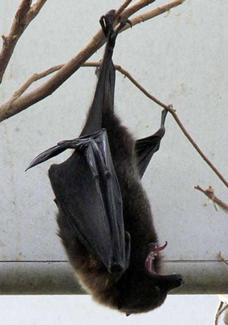 bat yawn