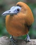 Capuchinbird89