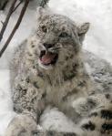snow-leopard-cub