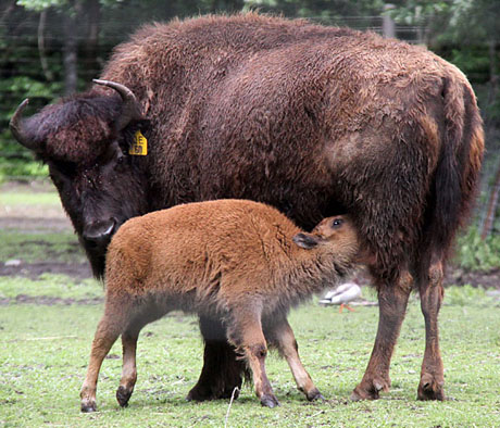 Bison While At The Zoo